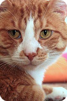 Domestic Shorthair Cat for adoption in St. Louis, Missouri - Joshua REdman