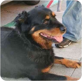 Rottweiler Mix Dog for adoption in Berkeley, California - Pal