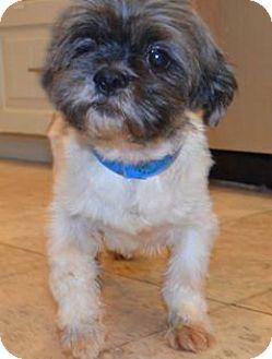 Shih Tzu Mix Dog for adoption in Urbana, Ohio - Stratus Barkley