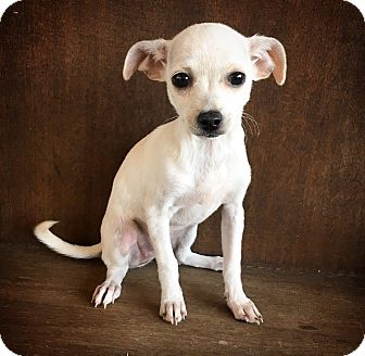 Chihuahua Mix Puppy for adoption in Fredericksburg, Texas - Lula