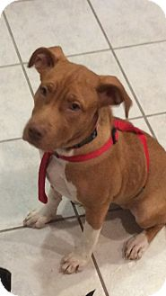 Labrador Retriever Mix Puppy for adoption in Patterson, New York - sassy