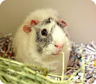 Guinea Pig for adoption in Harrisonburg, Virginia - Walter