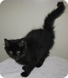 Domestic Longhair Cat for adoption in Gary, Indiana - Bear