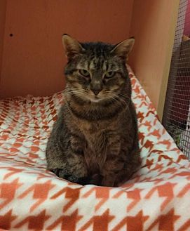 Domestic Shorthair Cat for adoption in Monroe, Louisiana - Jasmine