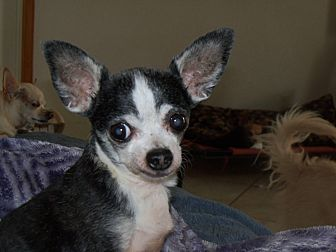 Chihuahua Dog for adoption in Apache Junction, Arizona - Stinky