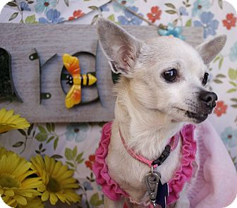 Chihuahua Mix Dog for adoption in Allentown, Pennsylvania - Sally