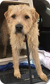 Irish Terrier/Norwich Terrier Mix Dog for adoption in beverly hills, California - Mr. Wolf