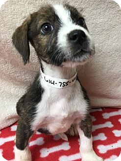 Terrier (Unknown Type, Medium) Mix Puppy for adoption in Gahanna, Ohio - ADOPTED!!!   Katydid