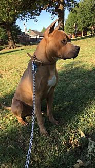 American Staffordshire Terrier Dog for adoption in Denton, Texas - Hercules