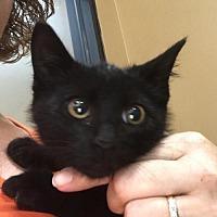 Domestic Shorthair Cat for adoption in Whitehall, Pennsylvania - Monte