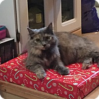 Domestic Longhair Cat for adoption in Crawfordsville, Indiana - Dolly