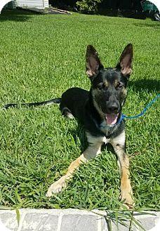German Shepherd Dog Dog for adoption in Coral Springs, Florida - Elvis 0736