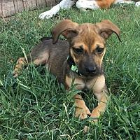 Adopt A Pet :: Shakira - Dallas, TX