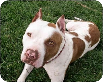 American Pit Bull Terrier Dog for adoption in All of Colorado, Colorado - Bosley