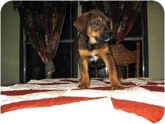 Labrador Retriever Mix Puppy for adoption in Somerset, Kentucky - Coco