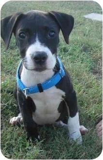 American Bulldog/Labrador Retriever Mix Puppy for adoption in Callahan, Florida - Lacey