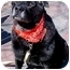 Photo 3 - Labrador Retriever/Flat-Coated Retriever Mix Dog for adoption in Huntington, New York - Jagger