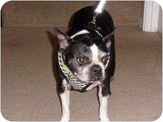 Boston Terrier Mix Dog for adoption in Portland, Oregon - Dolly