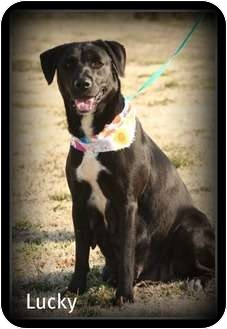 Labrador Retriever Mix Dog for adoption in Cranford, New Jersey - Lucky