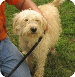 Wheaten Terrier/Terrier (Unknown Type, Medium) Mix Dog for adoption in Chicago, Illinois - Erin