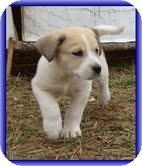 Bearded Collie/Beagle Mix Puppy for adoption in Foster, Rhode Island - Larry