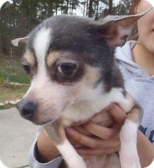 Chihuahua Dog for adoption in Chapel Hill, North Carolina - Pedro