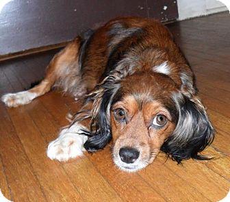 Cavalier King Charles Spaniel/Silky Terrier Mix Dog for adoption in Hamburg, Pennsylvania - Lady Bug