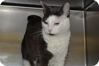 Domestic Shorthair Cat for adoption in Elyria, Ohio - MItten