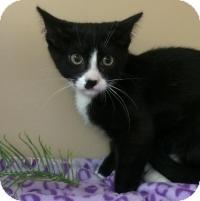 Domestic Shorthair Kitten for adoption in Glenwood, Minnesota - Ajax