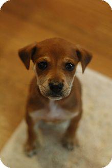 Shepherd (Unknown Type)/Labrador Retriever Mix Puppy for adoption in Eden Prairie, Minnesota - Oscar