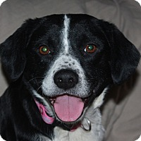 Adopt A Pet :: Holly - Foster Needed - kennebunkport, ME