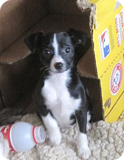 Terrier (Unknown Type, Small) Mix Puppy for adoption in Waretown, New Jersey - NOEL