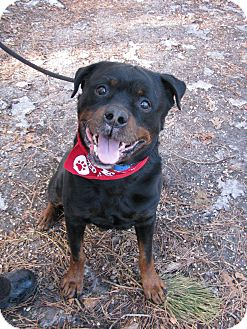 Rottweiler Dog for adoption in Voorhees, New Jersey - Blake