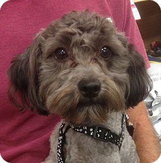 Poodle (Miniature) Mix Dog for adoption in Studio City, California - Duffy