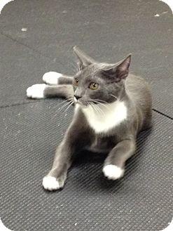 Domestic Shorthair Kitten for adoption in SHELBY TWP, Michigan - Jeffery