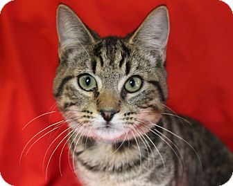 Domestic Shorthair Cat for adoption in Greensboro, North Carolina - Max
