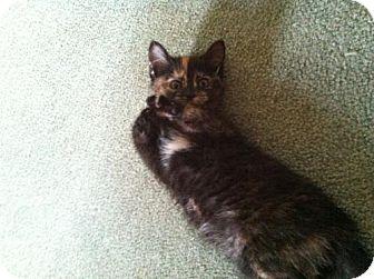 Domestic Mediumhair Kitten for adoption in Wilmore, Kentucky - Twix