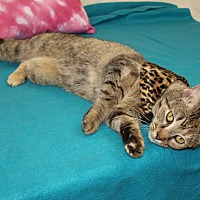 Domestic Shorthair Cat for adoption in Jackson, Mississippi - Nymbia