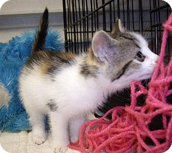 Domestic Mediumhair Cat for adoption in Lovingston, Virginia - Lullaby