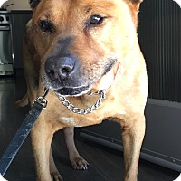 Shepherd (Unknown Type)/Jindo Mix Dog for adoption in Studio City, California - Clyde