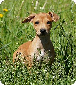 Whippet/Terrier (Unknown Type, Small) Mix Puppy for adoption in Pennigton, New Jersey - Emma