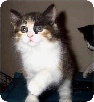 Domestic Longhair Cat for adoption in Encino, California - JOY/Pending