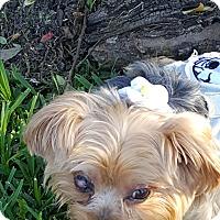 Adopt A Pet :: Cici - Lancaster, TX