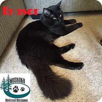 Domestic Mediumhair Cat for adoption in Huntsville, Ontario - Fraser - Adopted November 2016