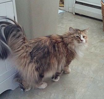 Calico Cat for adoption in Bloomingburg, New York - WILLOW