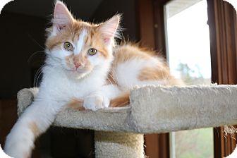 Domestic Shorthair Cat for adoption in Rochester, Minnesota - Monroe