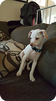 Chihuahua Mix Puppy for adoption in Rancho Cucamonga, California - Boomer