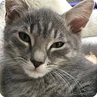 Adopt A Pet :: Shiraz - Turnersville, NJ