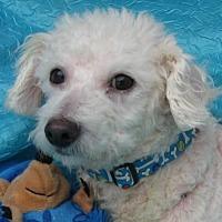Bichon Frise Dog for adoption in Cuba, New York - Cuddles