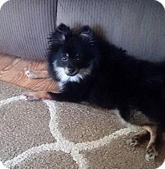 Pomeranian Dog for adoption in Detroit, Michigan - Samson-Adopted!